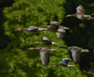 flock-of-birds-canada-geese-geese-wing-55832[1].jpeg